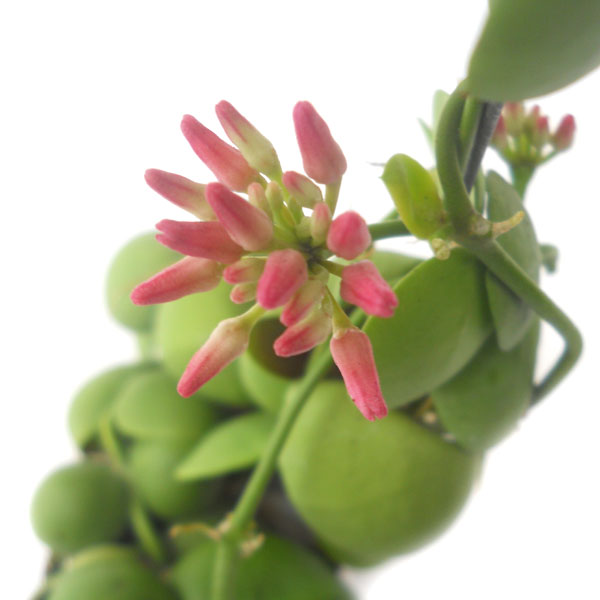 Dischidia pectenoides Dischi14