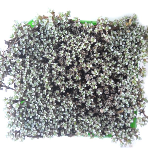 Raoulia australis Raouli12