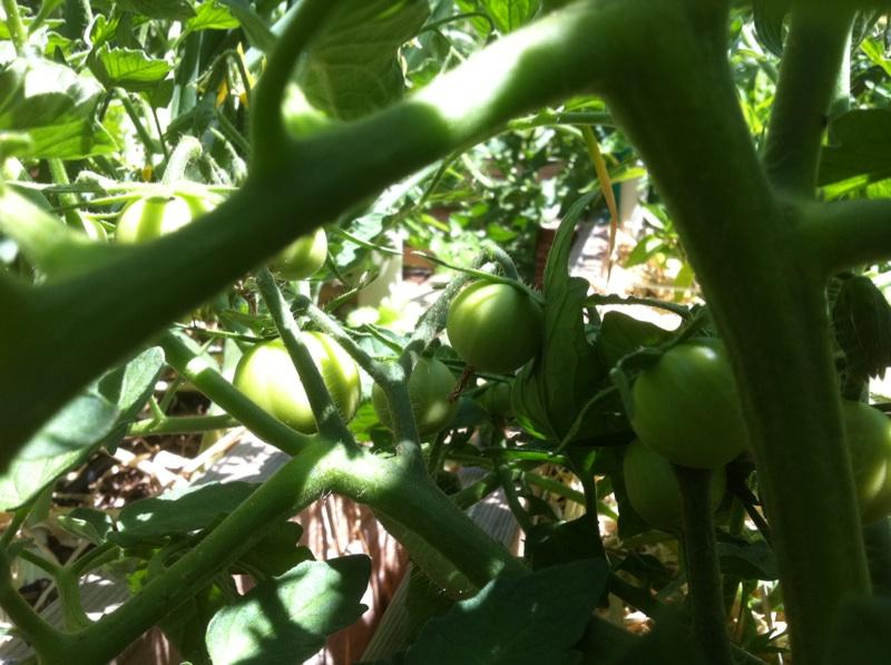 Tomato Tuesday 2015 - Page 2 Tomato18