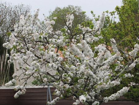 Cerisier en fleurs Cerisi10