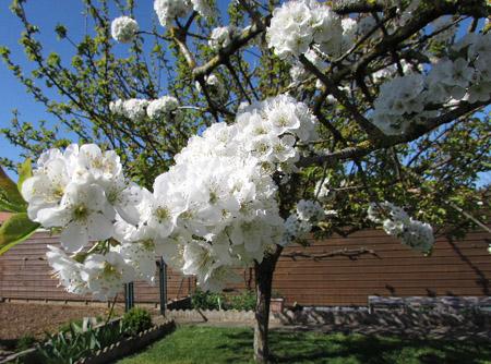 Cerisier en fleurs Cerisi11