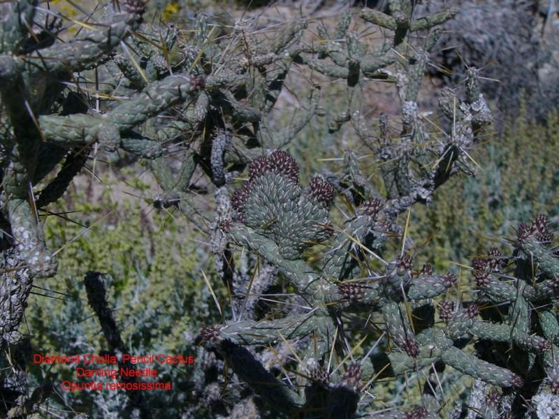 Cylindropuntia ramosissima  145