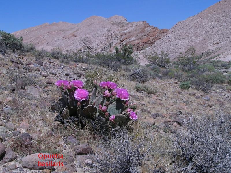 Opuntia basilaris var. basilaris 150