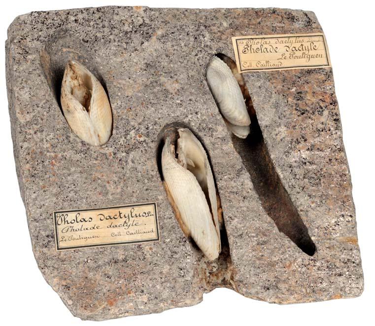 Pholas dactylus - Linnaeus, 1758 Pholad10