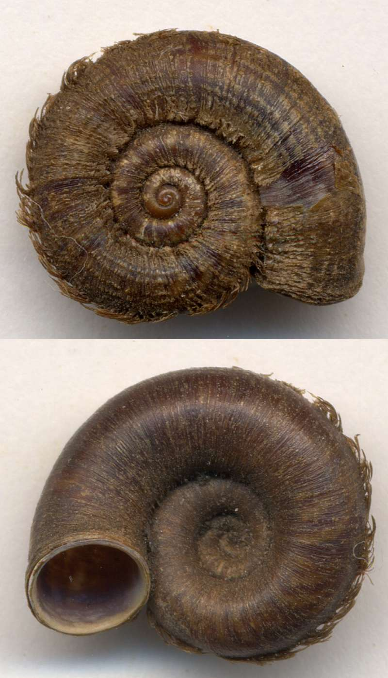 Scabrina laciniata (Heude, 1885) Scabri10