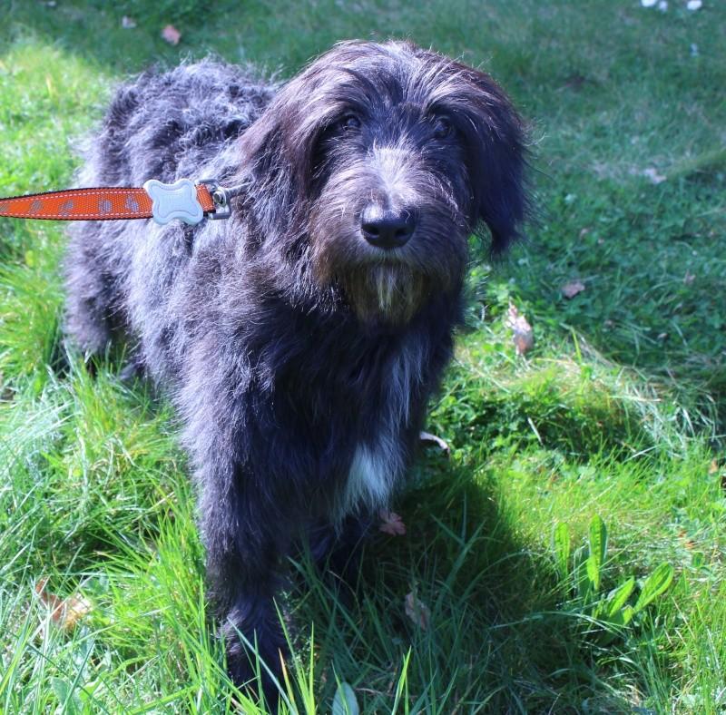 1 jeune chienne briard - Région Ouest Jord10