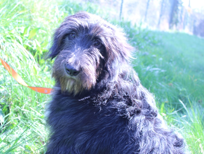 1 jeune chienne briard - Région Ouest Jord_210