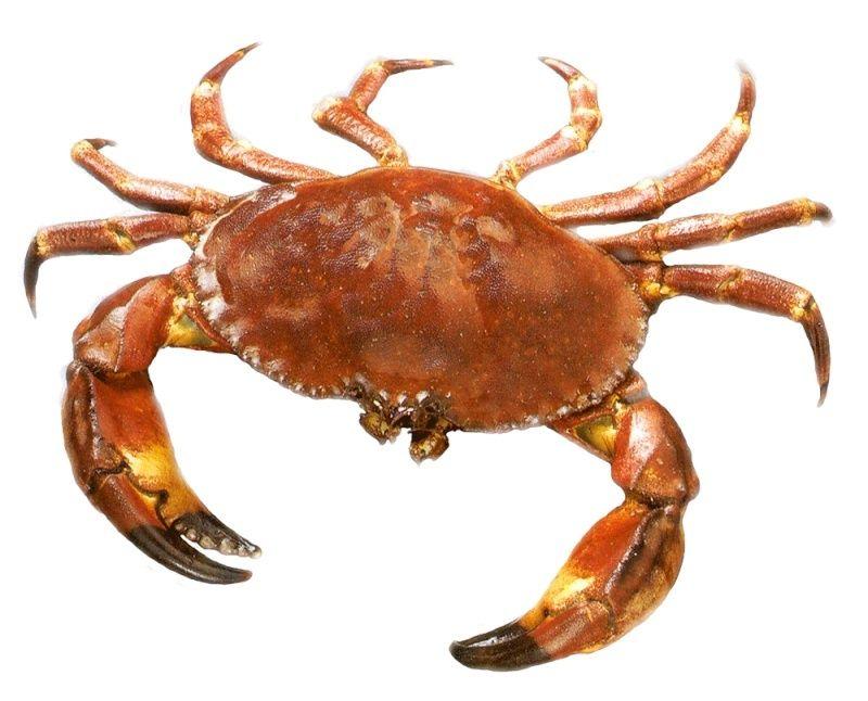 NADIR NASRI SOUS LES COULEURS DU MOB Crabe12