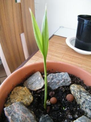 Culture Palmier Veitchia Merrillii 10_08_10