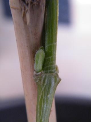 Rotheca myricoides (= Clerodendrum ugandense) - clérodendron ougandais Dscf6234