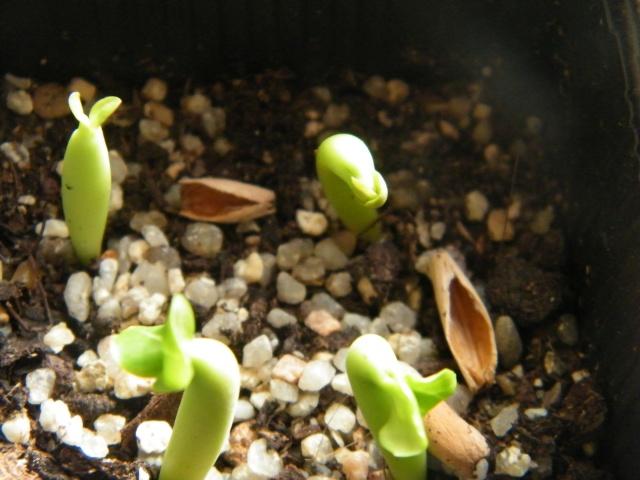 semis d'Apocynaceae : Plumeria, Adenium, Pachypodium... - Page 2 Dscf6244