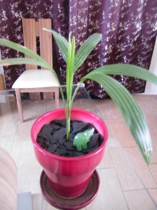 Culture Palmier Veitchia Merrillii Dscf6245