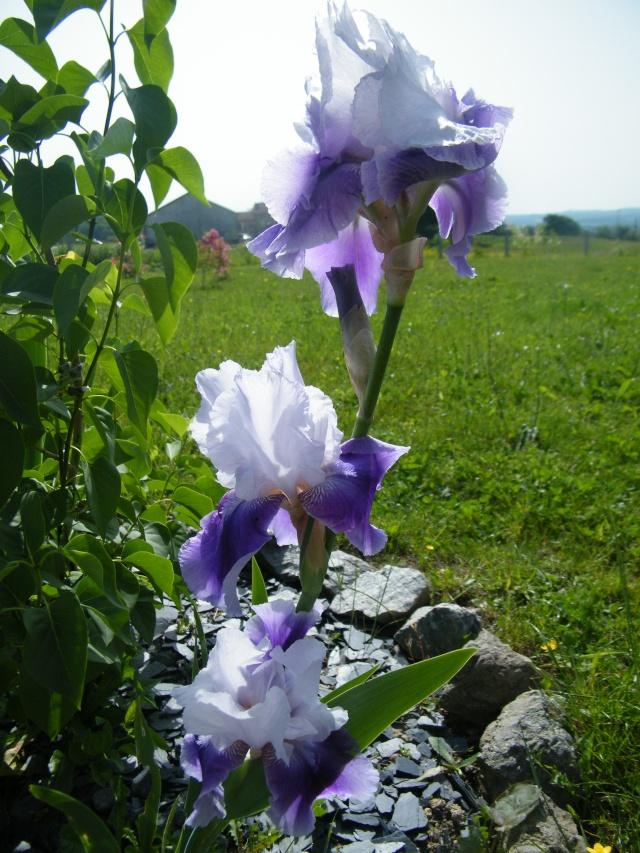 Les iris -culture, multiplication, entretien, variétés. - Page 3 Dscf6264