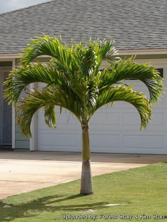 palmier qui ne grandit pas