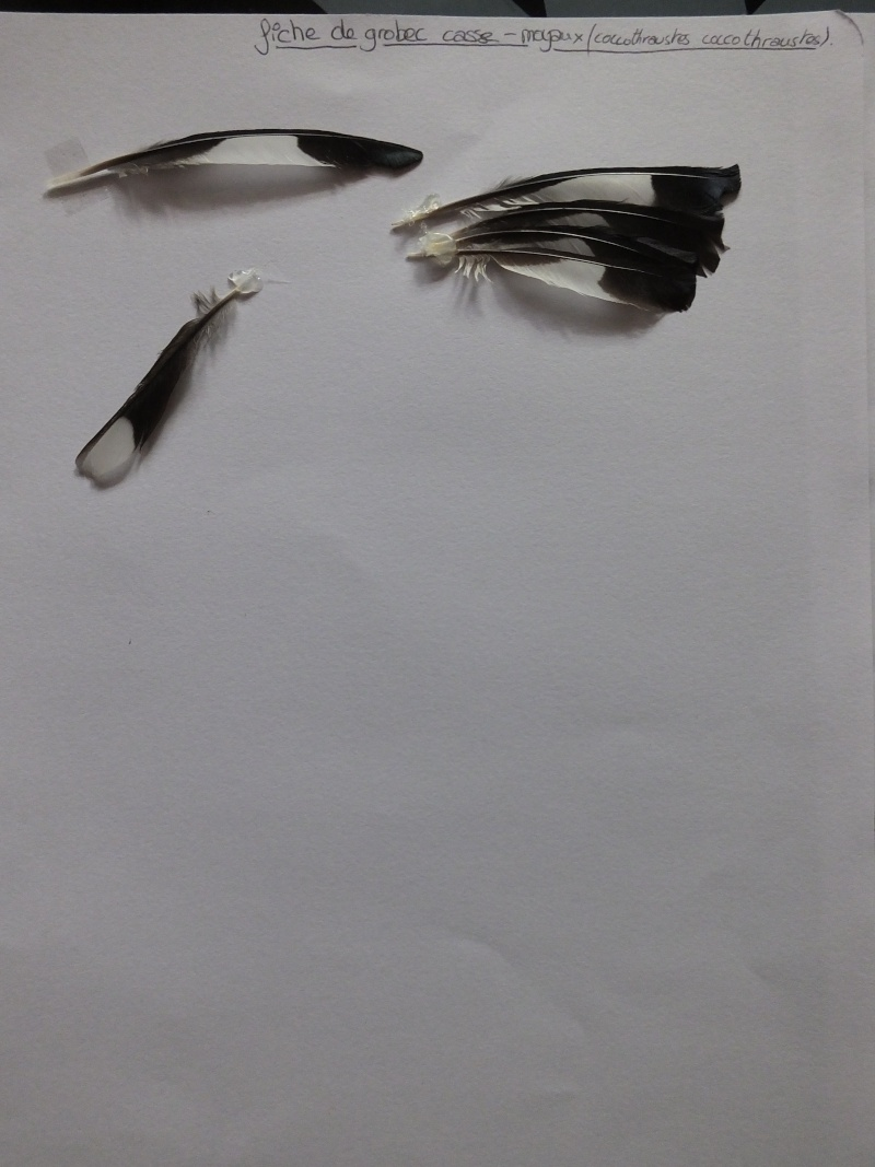 Gros-bec casse-noyaux - Page 2 Dscf7716