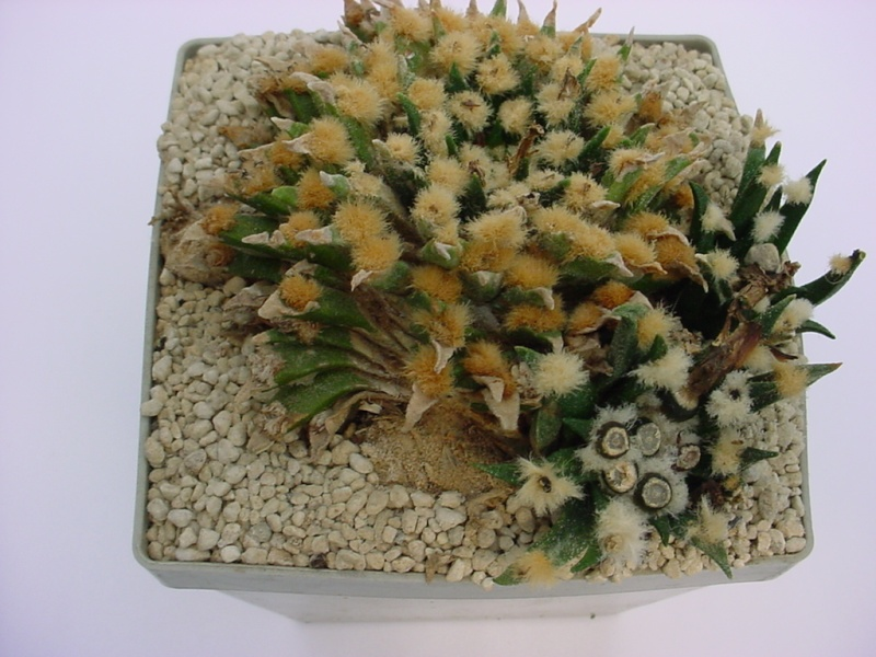 Ariocarpus agavoides ssp. agavoides Dsc00710