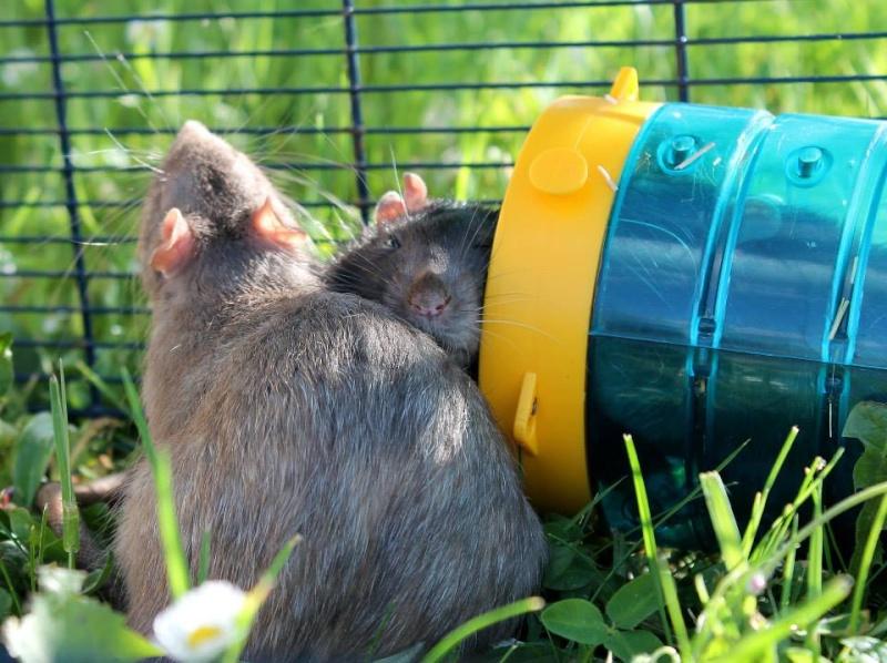 Les rats de Skip' 10421410