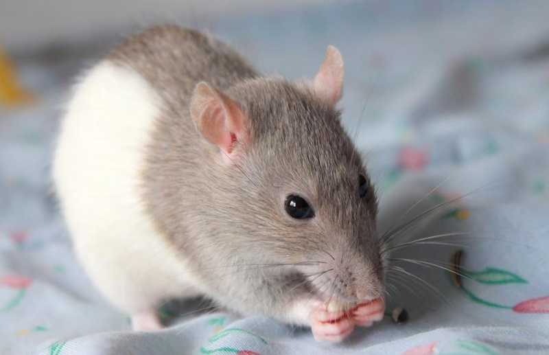 Les rats de Skip' 10915110