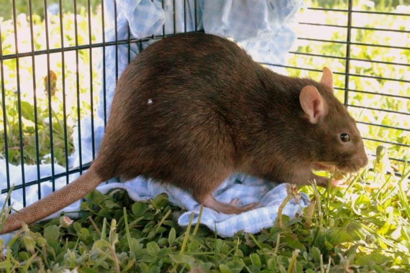 Les rats de Skip' 11061210