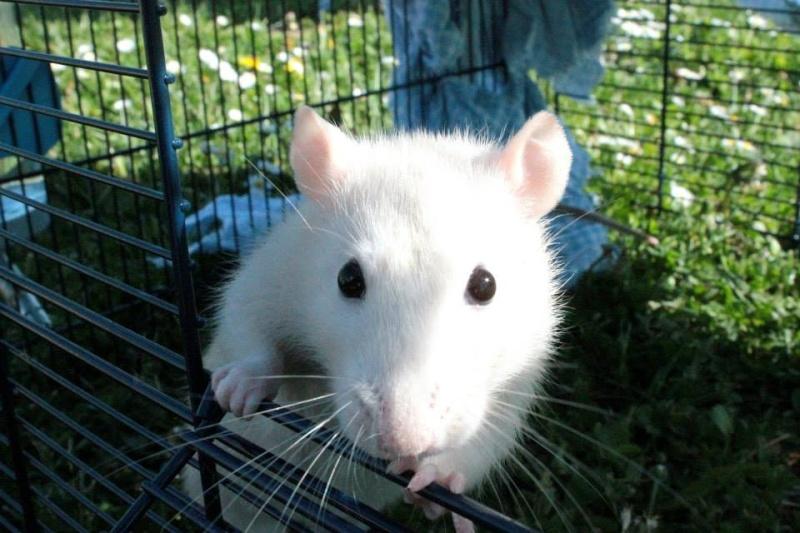 Les rats de Skip' 11146310