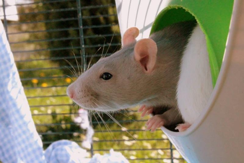 Les rats de Skip' 11149410