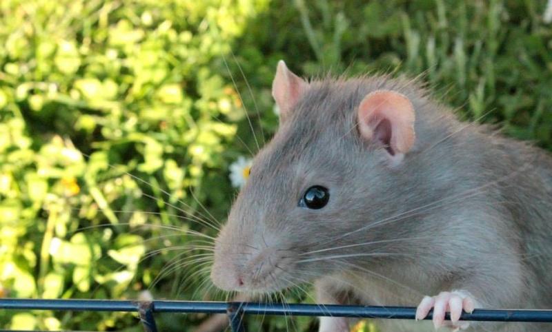 Les rats de Skip' 11150210