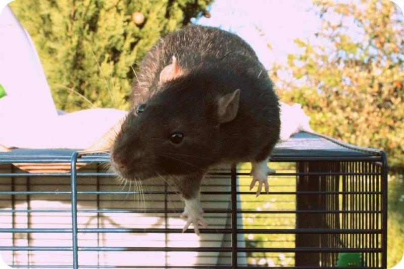 Les rats de Skip' 11156310