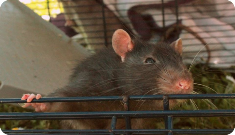 Les rats de Skip' 11159510