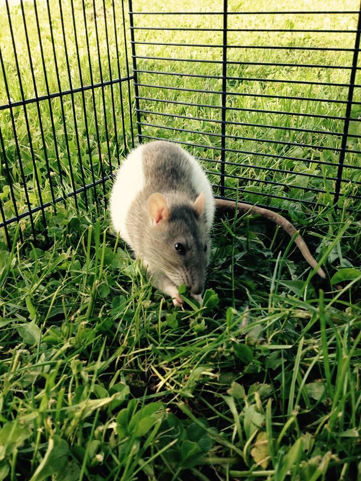 Les rats de Skip' 11165210