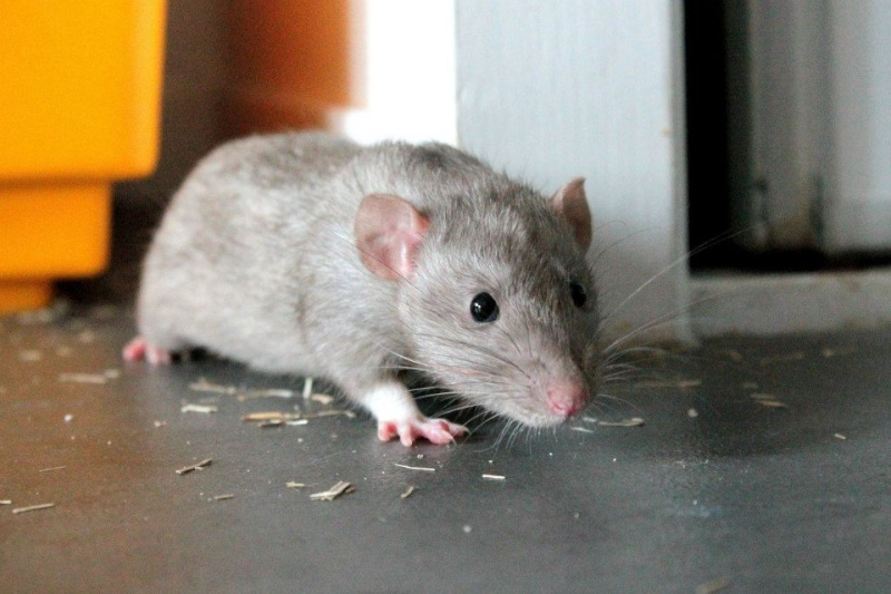 Les rats de Skip' 15173810
