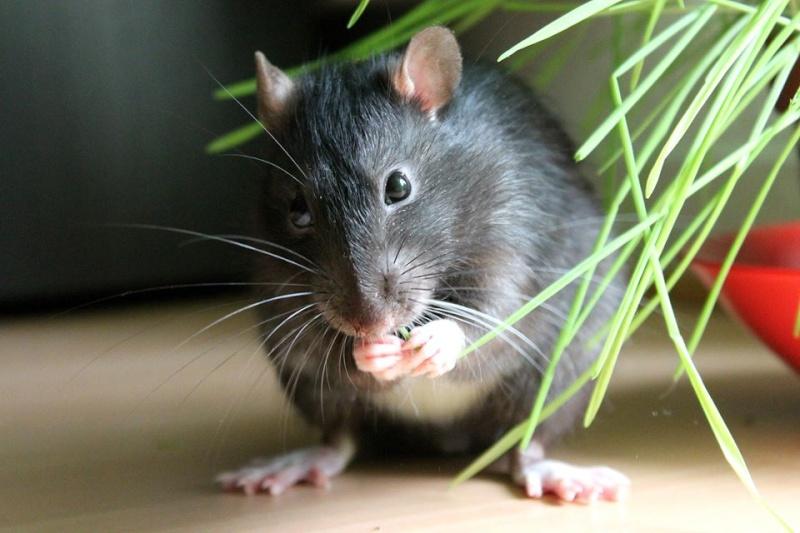 Les rats de Skip' Pouill12