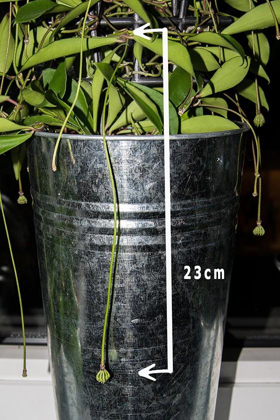 Hoya soidaoensis Pk3a6712