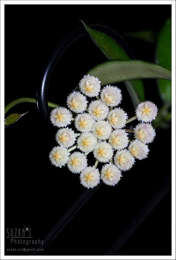 Blüten 2015 Pk3a7212