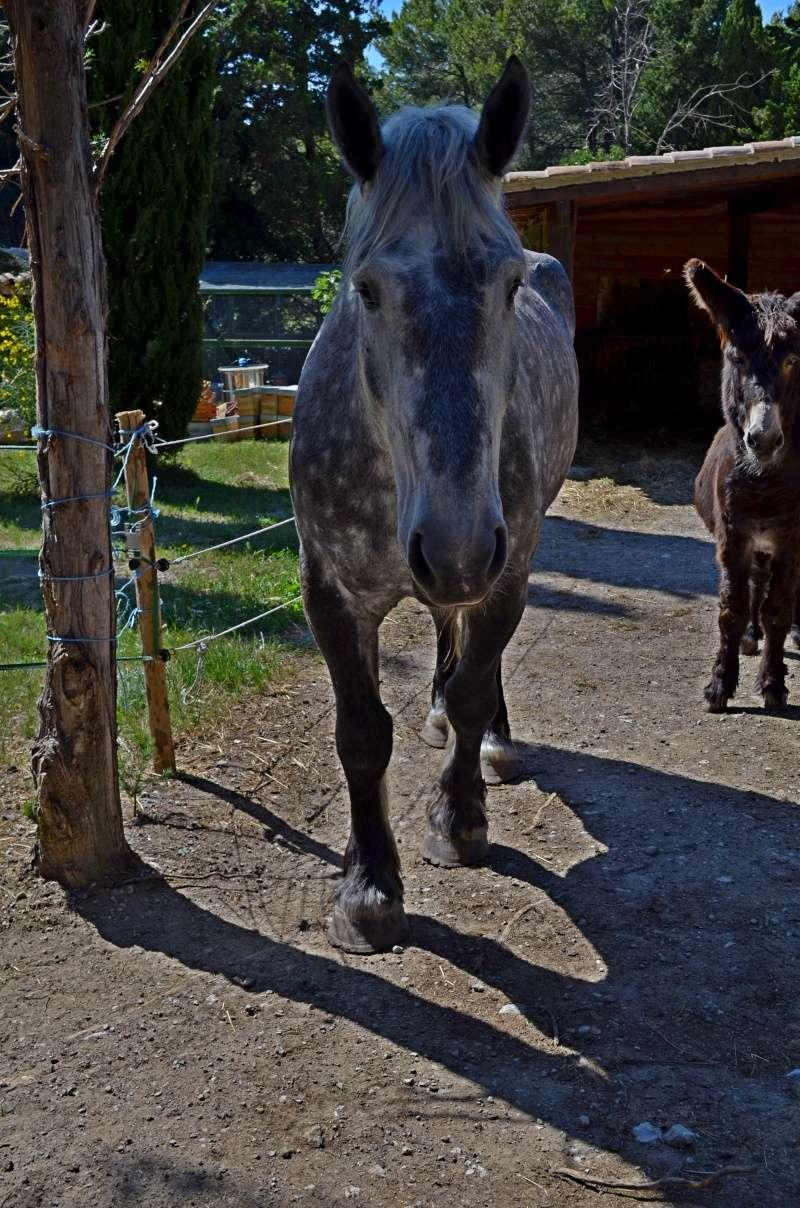 AUGUST - Percheron X Boulonnais né en 2010 - adopté en janvier 2011 par Marianne et Philippe - Page 2 August20