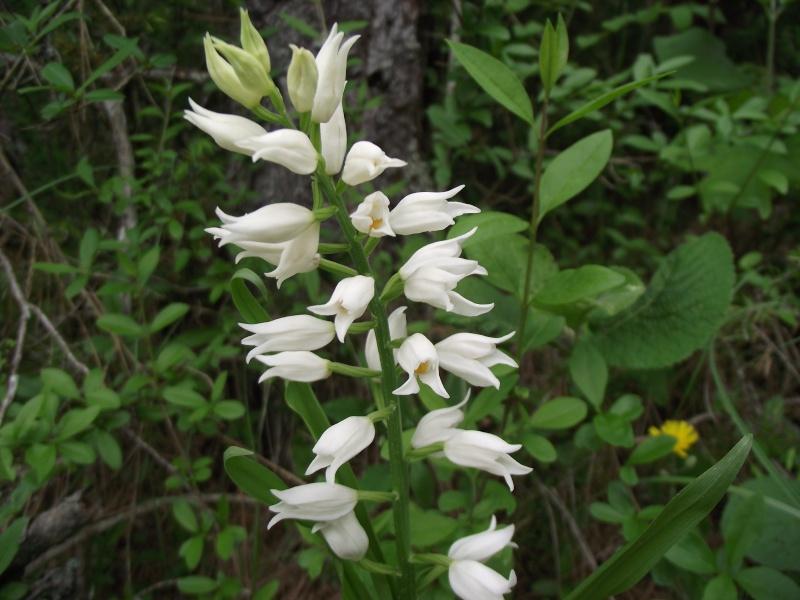 Cephalanthera longifolia 74 Dscf7641