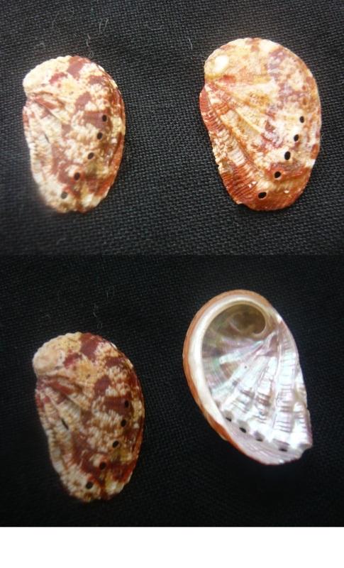 Haliotis tuberculata lamellosa  00210