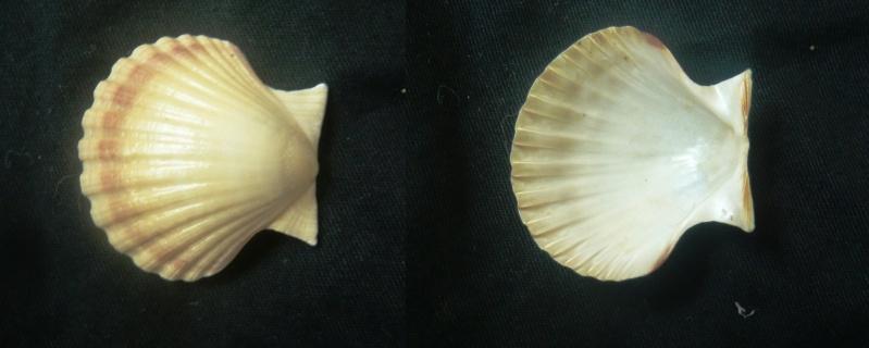 Pecten jacobaeus - (Linnaeus, 1758)  00512
