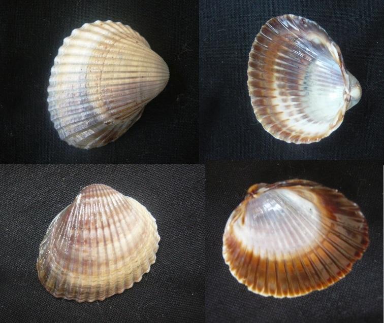 Cerastoderma glaucum -  (Bruguière, 1789) 01110
