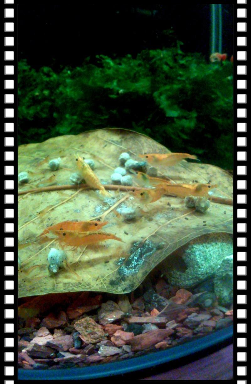 Gozgull Shrimp's - Page 8 Img_2037