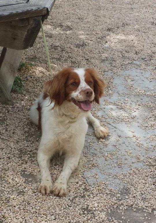 Home wanted for lovely little Spaniel girl Dog10