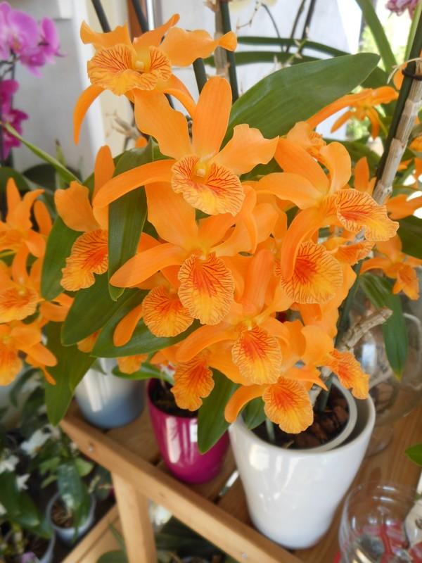 Dendrobium Stardust Firebird Dendro10