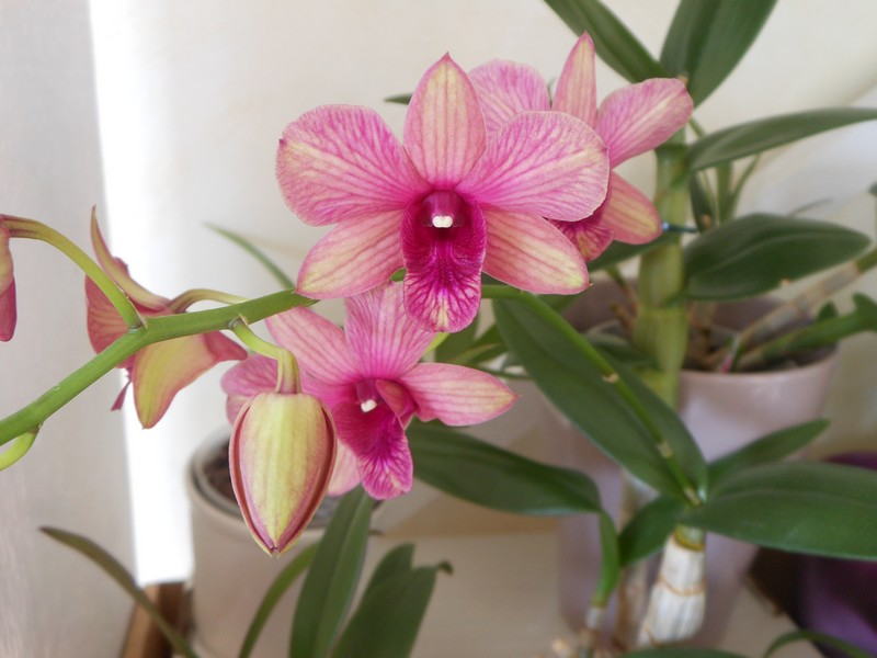 Dendrobium Phalaenopsis Sunny Cocktail Dendro16