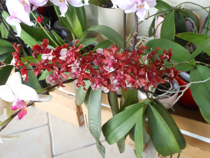 oncidium Sharry Baby ' Sweet fragrance' - Page 2 Oncidi11