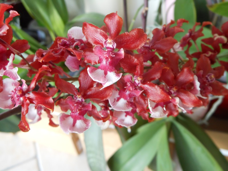 oncidium Sharry Baby ' Sweet fragrance' - Page 2 Oncidi12