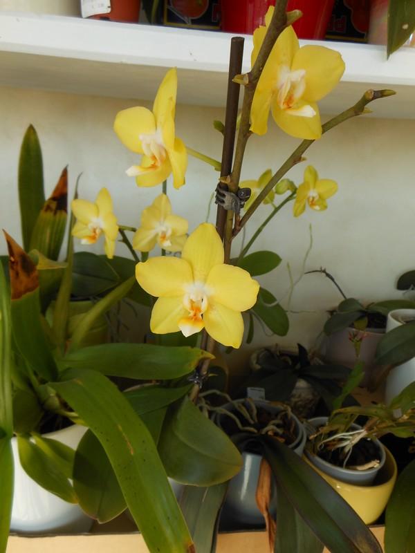 Phalaenopsis I-hsin  Sunflower Phal5111