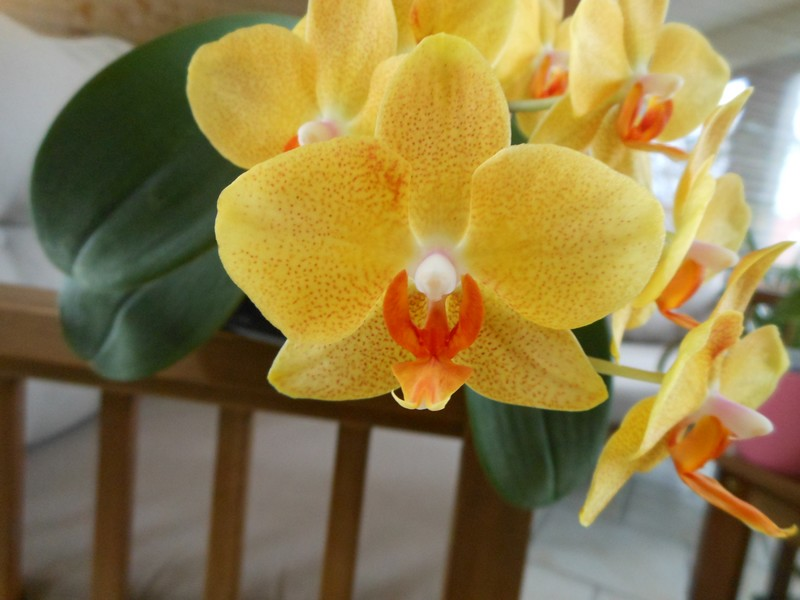 floraison Phalaenopsis Phal_111