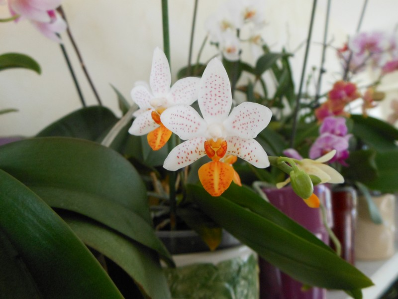Phalenopsis mini mark Phal_410