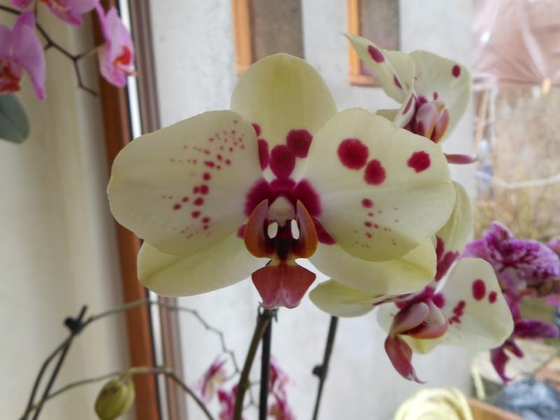 floraison Phalaenopsis Phal_610