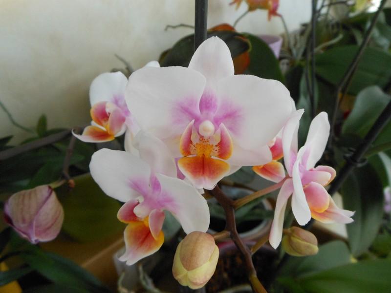 floraison Phalaenopsis Phal_611