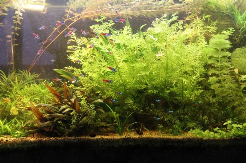 Présentation de mon aquarium (240L) Img_9812